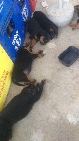 Filhotes de Rottweiler puro - pais com pedigree  - Foto 2