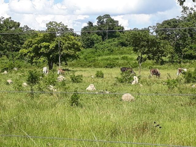 Chácara de porteira fechada na beira do rio Cuiabá com barco gado cavalo casa boa - Foto 10