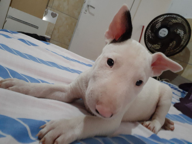 ? Lindos filhotes de Bull terrier  - Foto 2
