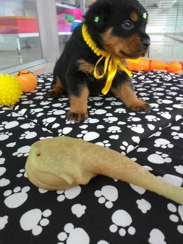 Rottweiler cabeca touro disponivel pra vc gold dog