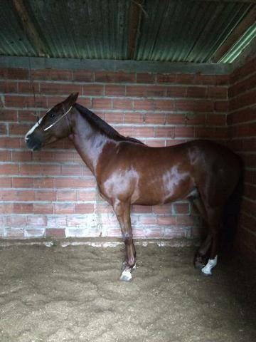 Cavalo inglês x quarto de milha - Foto 3