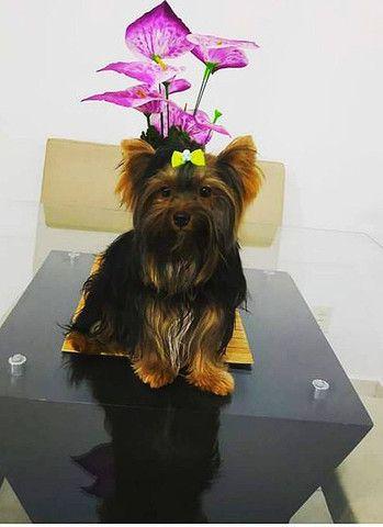 Cachorro yorkshire macho (cruzar, procura namora )