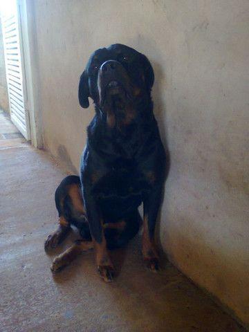Rottweiler disponível para cobertura  - Foto 3