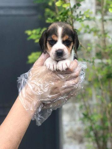 Beagle filhotes de 45 dias disponíveis - Foto 2