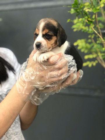 Beagle filhotes de 45 dias disponíveis