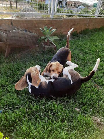 Filhotes de Beagles entrega Gratuita dia 06/12 em Balneário Camboriú  - Foto 3