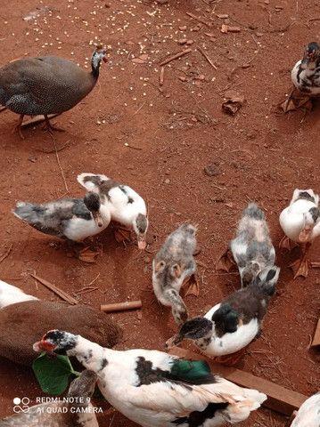Pato filhote  - Foto 5