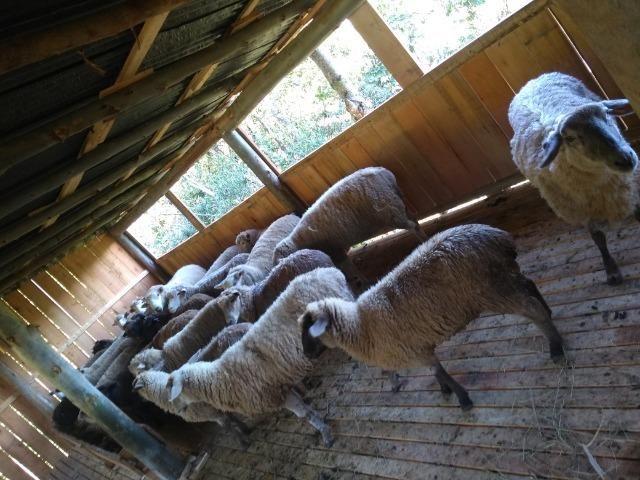 Vendo ovelhas - Foto 2