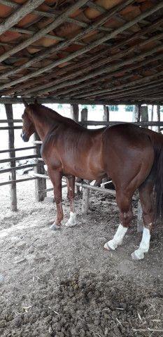 Vendo cobertura de Cavalo QM com documentos puro - Foto 2
