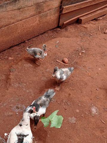 Pato filhote  - Foto 2