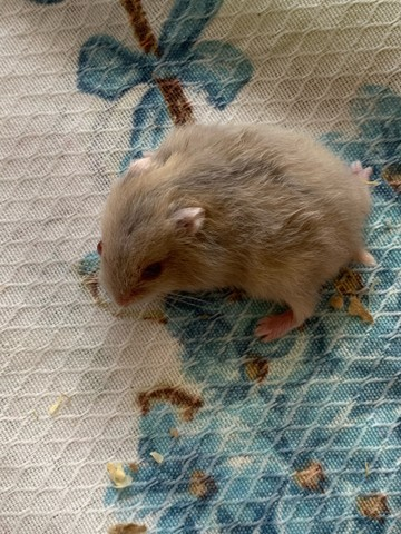 hamster anao russo - Foto 2