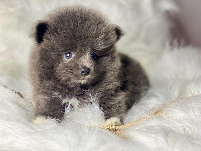 Baby de Spitz lindo disponível  - Foto 2
