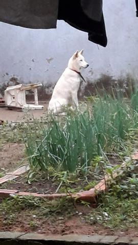 Husky Siberiano com 8 meses