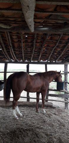 Vendo cobertura de Cavalo QM com documentos puro - Foto 3