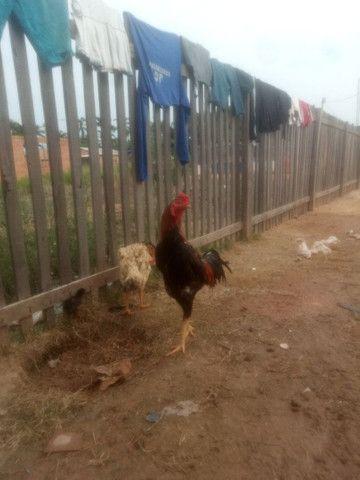 Vendo galo índio vendo ou troco em 2 galinhas comum - Foto 2