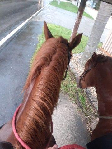 Cavalo mangalarga paulista / marchador  - Foto 3