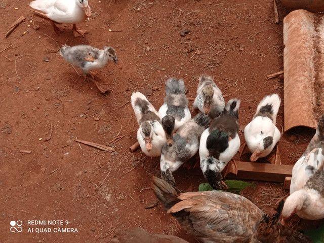 Pato filhote  - Foto 6
