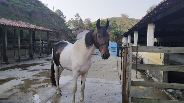cavalo campolina - Foto 4