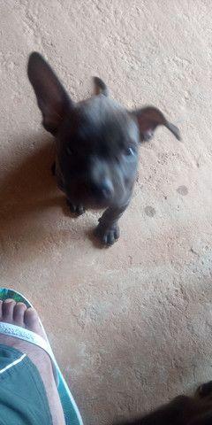Vendo pitbull América bull - Foto 3