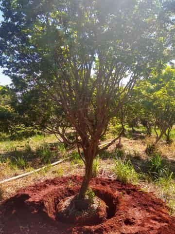 Jaboticabeiras produzindo com frutos - Foto 2