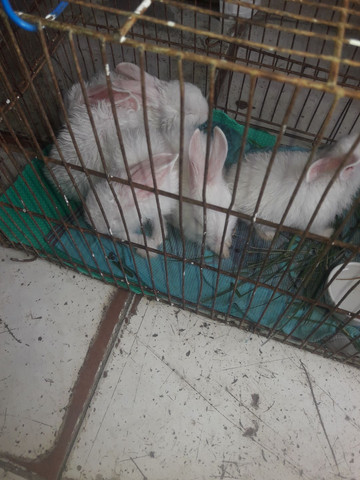 Coelhos brancos grande - Foto 2