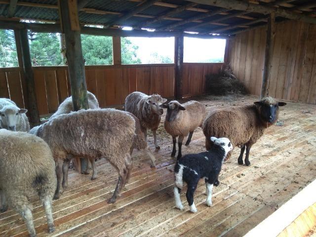 Vendo ovelhas - Foto 5