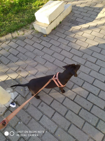 Basset macho - Foto 3