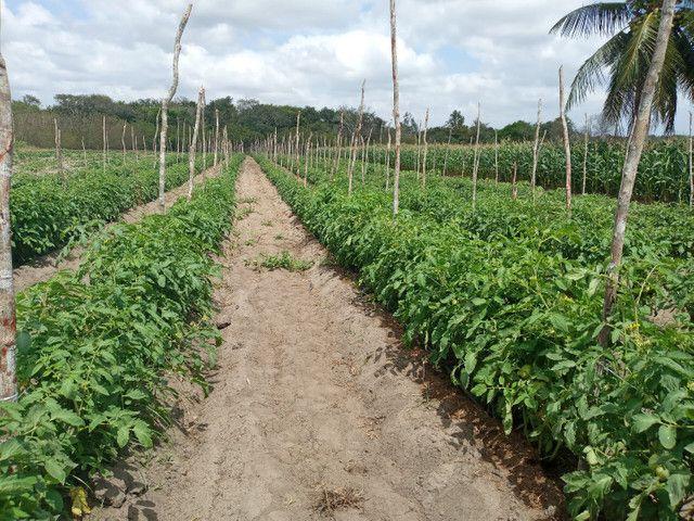 Fazenda com 20 hectares no jardins com irrigação  - Foto 3