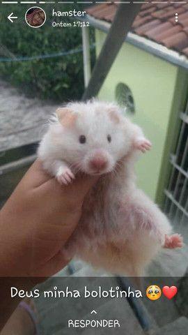 hamster reprodutora albina (leia a descrição )