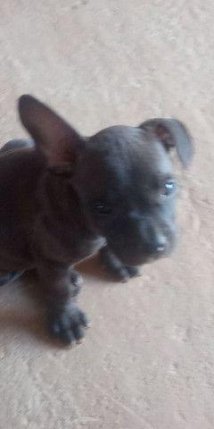 Vendo pitbull América bull - Foto 4
