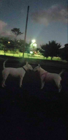 Lindos filhotes de Bull terrier  - Foto 6