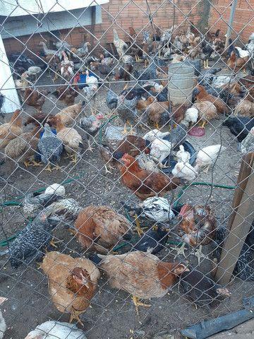 Frangos/galinhas caipiras  - Foto 2