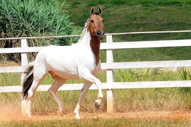 cavalo campolina - Foto 5