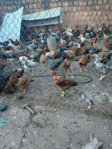 Frangos/galinhas caipiras