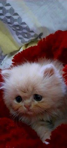 Gato Persa - Foto 3