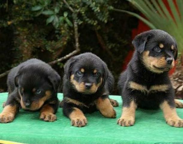 Rottweiler padrão alemão