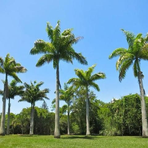 Mudas de Palmeira Imperial com 3 metros