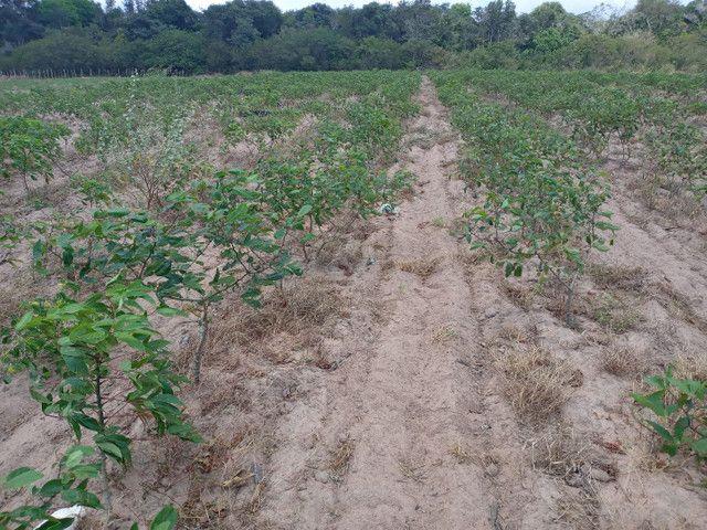 Fazenda com 20 hectares no jardins com irrigação  - Foto 5