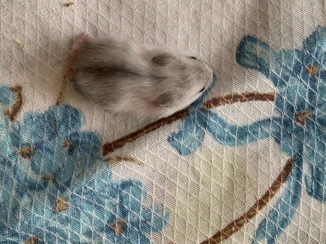 hamster anao russo