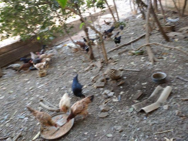Frangos, Galinhas é Patos caipira - Foto 2
