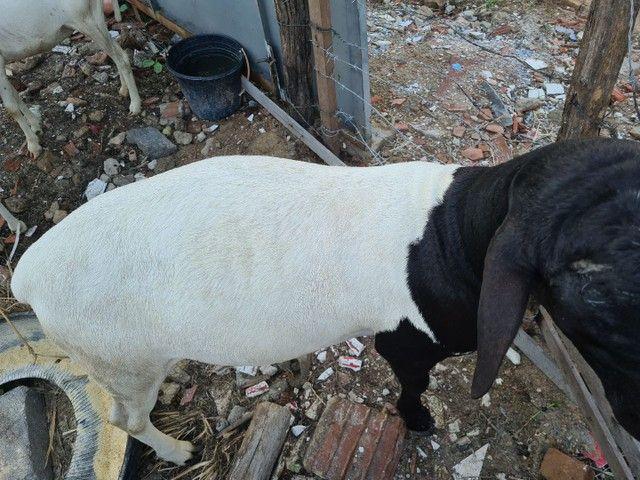 Ovelhas e reprodutor dopper - Foto 4