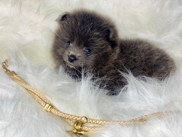 Baby de Spitz lindo disponível  - Foto 3