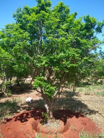 Jaboticabeiras produzindo com frutos