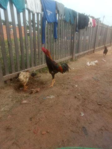 Vendo galo índio vendo ou troco em 2 galinhas comum
