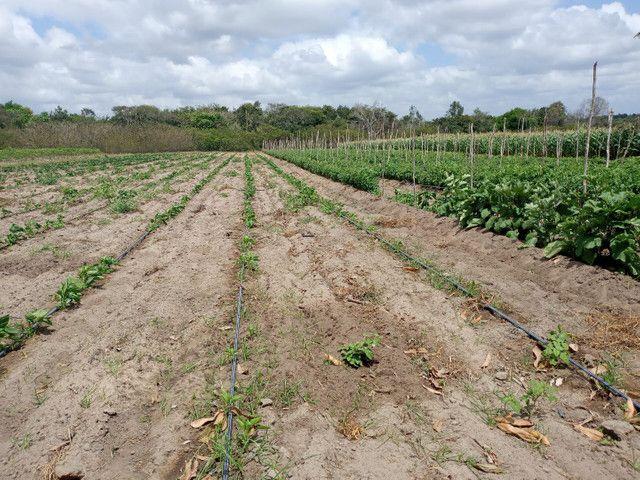 Fazenda com 20 hectares no jardins com irrigação  - Foto 7