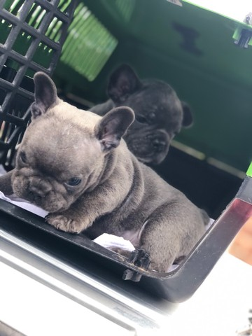 Bulldog francês Blue  - Foto 5