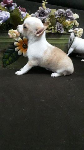 Chihuahua femea pelo curto filhote linda ! - Foto 2