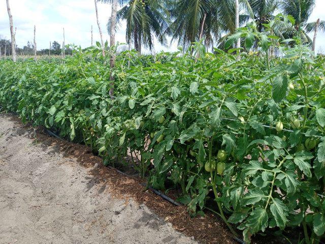 Fazenda com 20 hectares no jardins com irrigação  - Foto 2