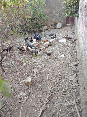 Frangos, Galinhas é Patos caipira - Foto 4