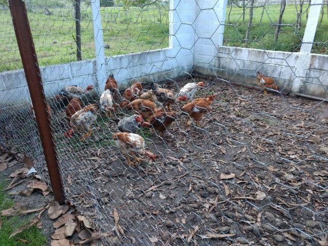 Para quem procura granja estruturada em Monte Alegre - Foto 6